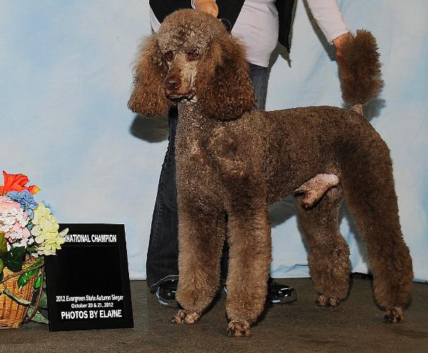 ... is an example of a well built and sturdy male Standard Poodle. His