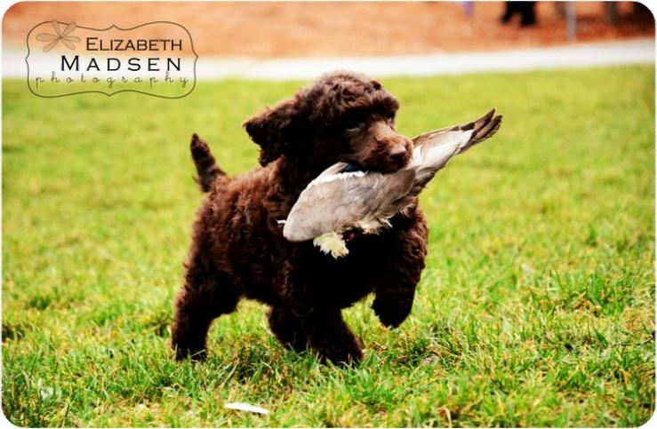 Washington Standard Poodle Puppy Portland Dog Breeder
